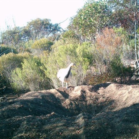 Mt Hope Malleefowl Recovery