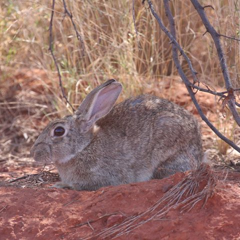 Rabbit parasites - additional biocontrol agents