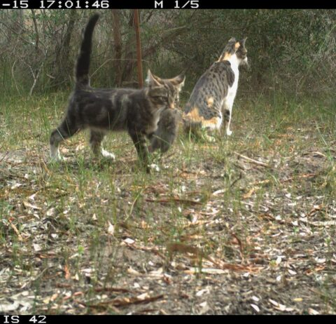 National Feral Cat and Fox Management Coordinator